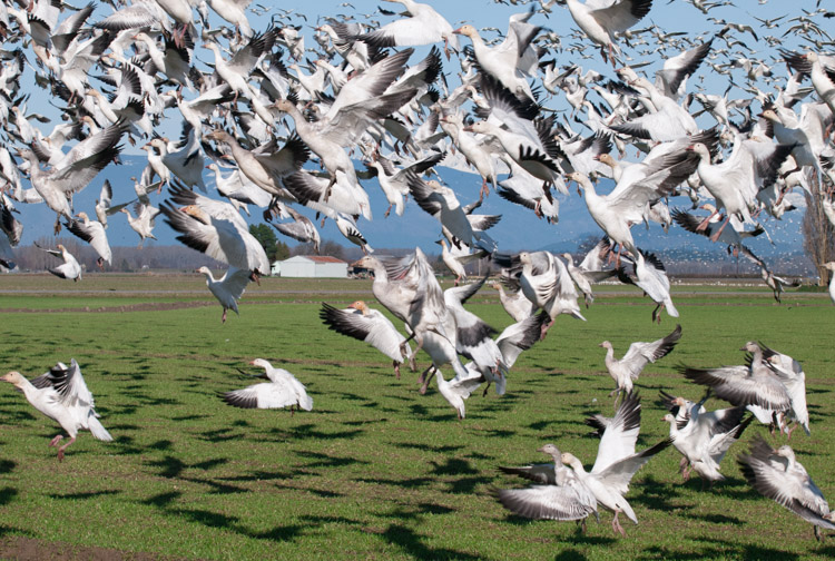 Snow Geese taking off in Mount Vernon