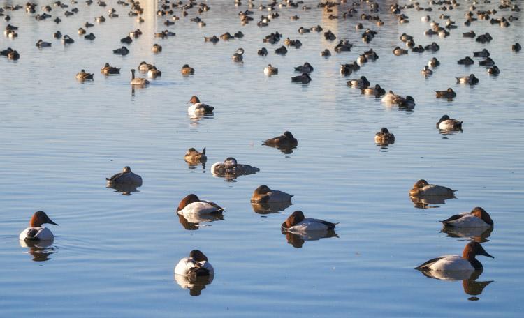 Lake Merritt Ducks