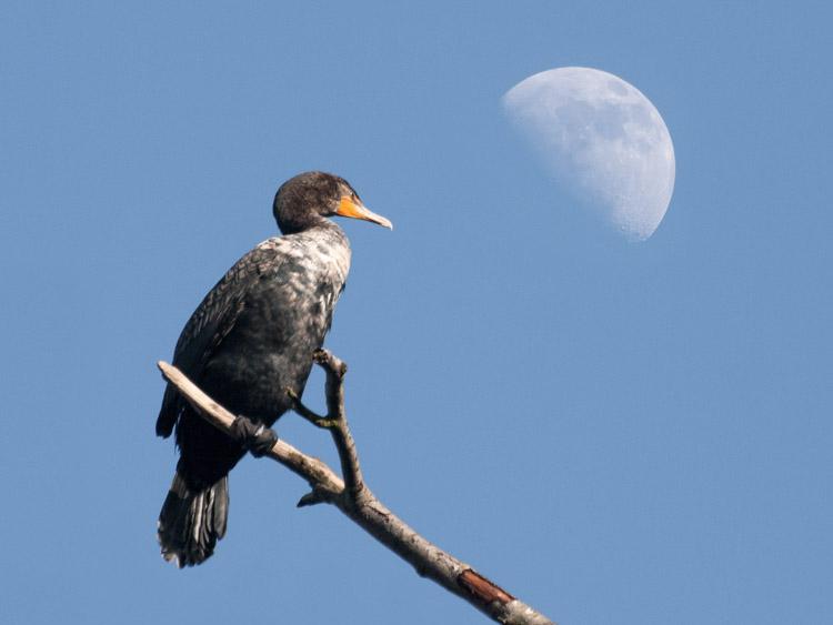 Cormorant Moon