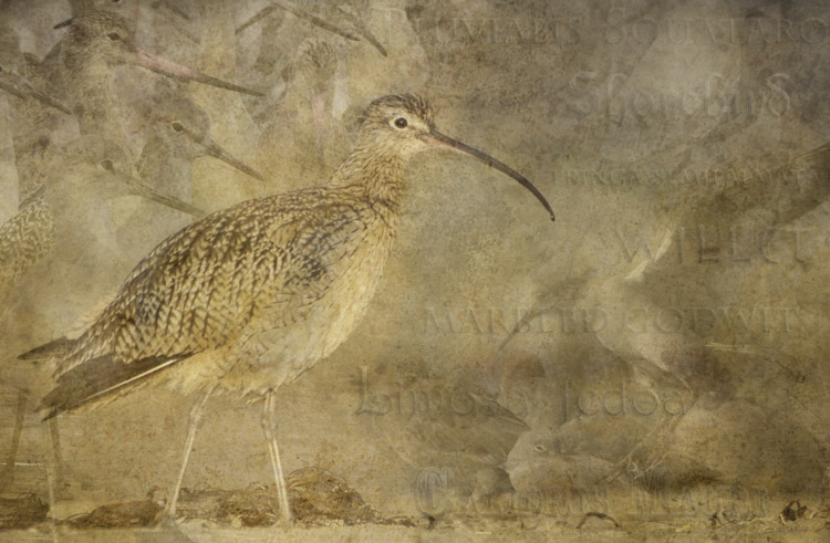 Curlew Dreams - ©ingridtaylar
