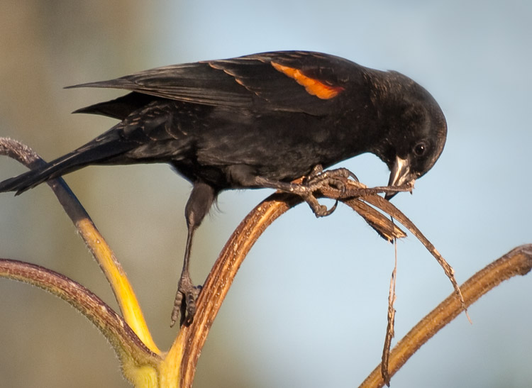 Red-winged Blackbird in Seattle P-Patch