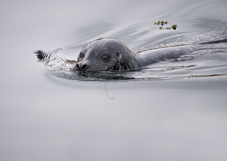 Harbor Seal on Elliott Bay Seattle