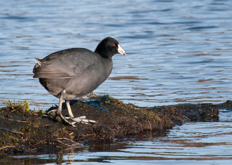 American Coot at Union Bay Natural Area in Seattle