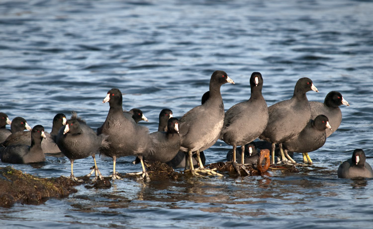 American Coots at Union Bay Natural Area