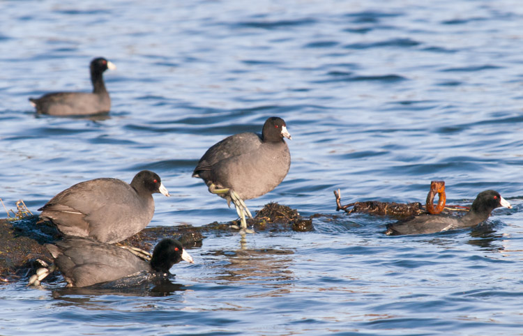 American Coots at Montlake Fill in Seattle