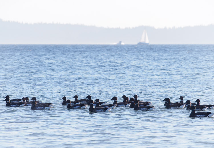 Brant Geese at Discovery Park Seattle