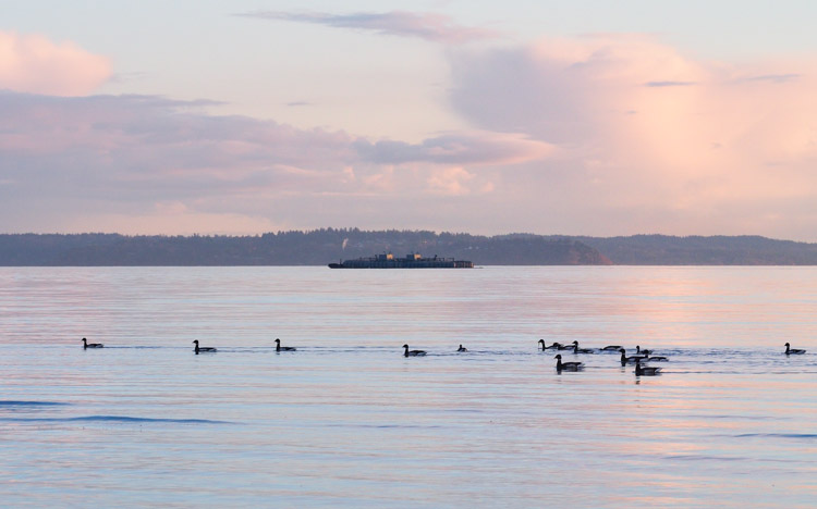 Brant Geese at Discovery Park Sunset