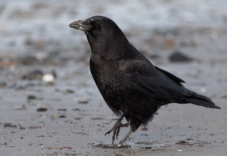 American Crow on Discovery Park Beach