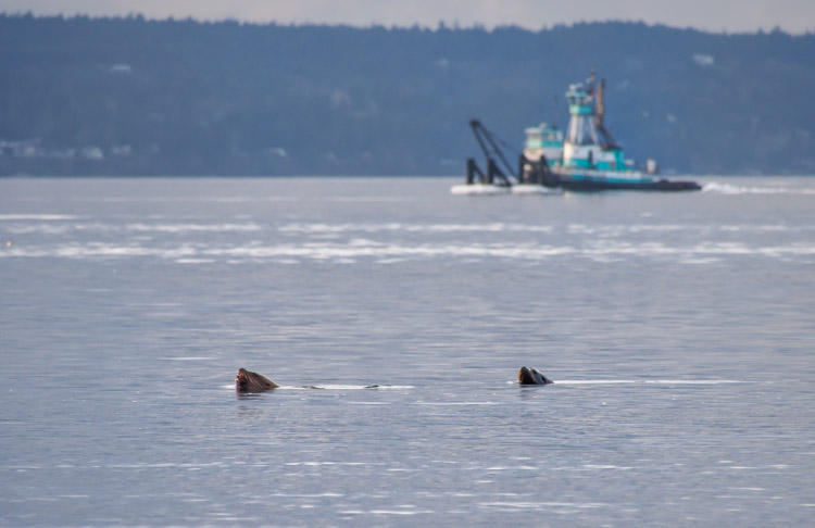 Sea Lions swimming at Discovery Park Seattle