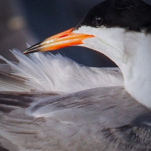 Forster's Tern preening in Southern California