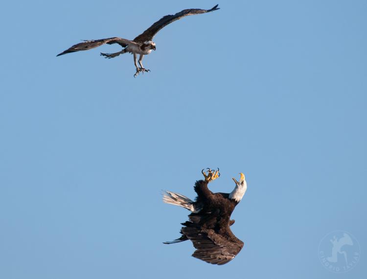 Osprey Defends Seattle Nest from Bald Eagle