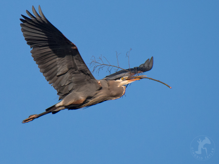 Great Blue Heron in Flight with Branch Seattle