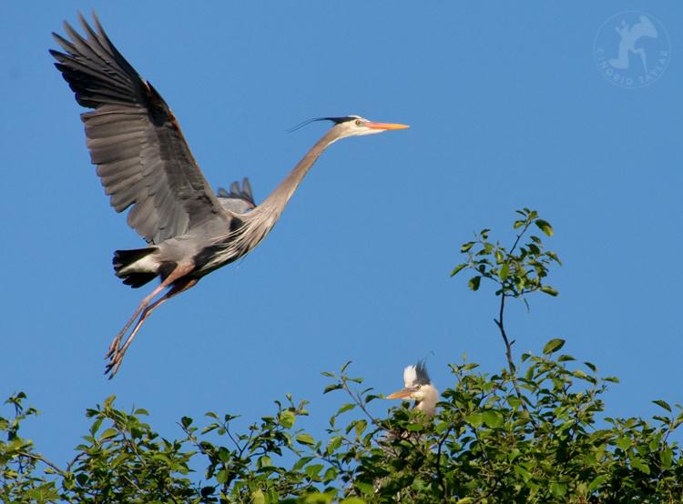 Great Blue Herons at Ballard Locks Seattle